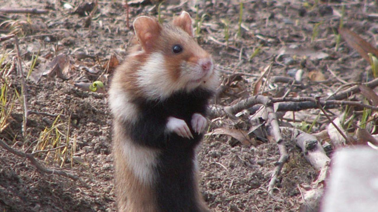 Hamster_0