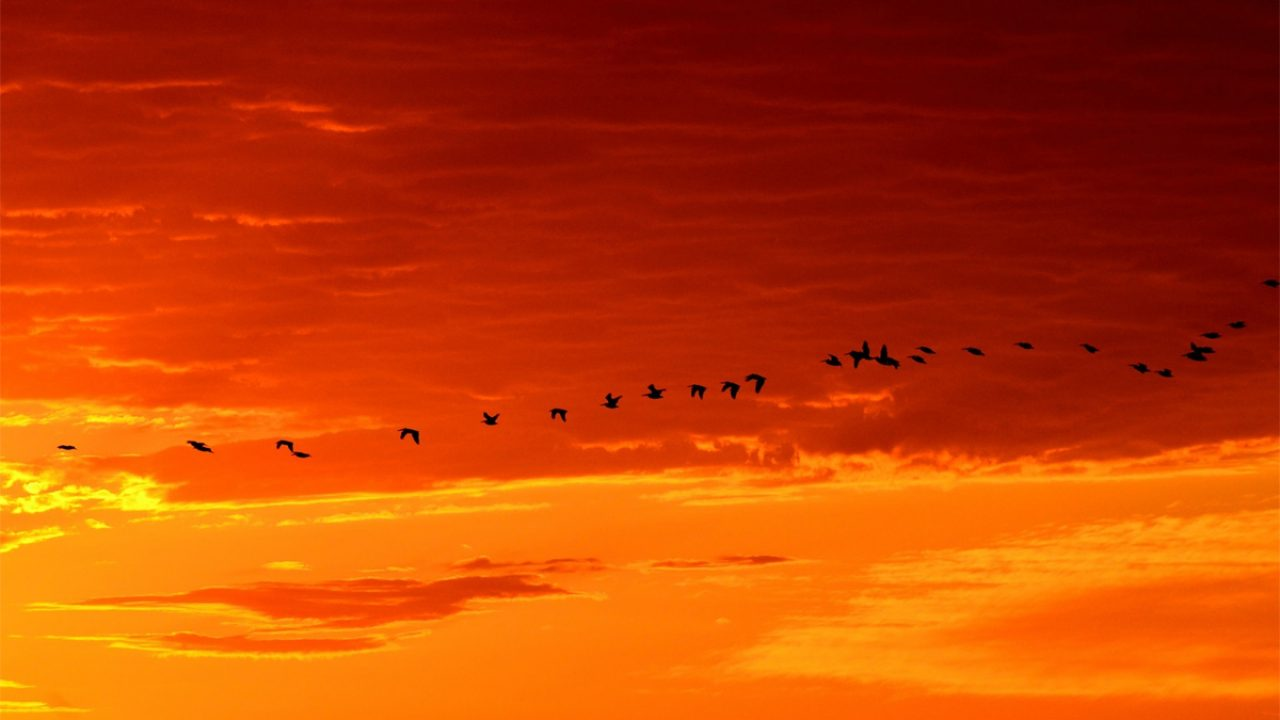 Vögel fliegen im Sonnenuntergang - Symbolbild Migration