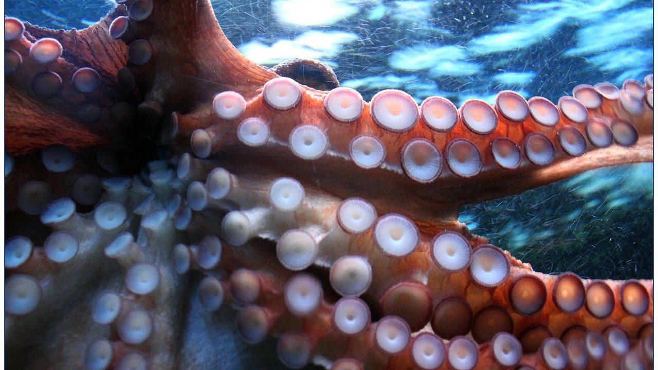 octopus-g6e50e8d60_1280